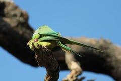 Роза-окружённый сопрягать птиц длиннохвостого попугая (krameri ожерелового попугая), Стоковое Изображение RF