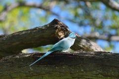 Роза-окружённый parakeet Стоковые Фото