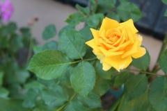 Роза оранжевого желтого цвета Стоковое Фото