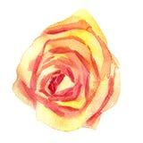 Роза пинка акварели рисуя Стоковые Изображения