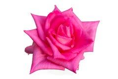 Роза пинка изолированная на фокусе белой предпосылки глубоком Стоковые Изображения