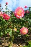 Роза пинка и желтого цвета на королевском саде Стоковые Изображения