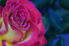 Роза пинка и желтого цвета стоковая фотография rf