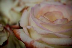 Роза пинка и желтого цвета Стоковые Изображения RF