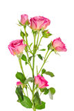 Роза пинка куста ветви Стоковое Изображение RF