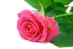 Роза пинка на белизне стоковая фотография rf