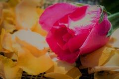 Роза пинка на свежих желтых лепестках розы на деревянном weave с мягким li Стоковые Изображения