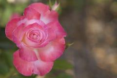 роза пинка одиночная Стоковое Изображение