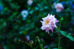 Роза пинка оно красивый в саде Стоковые Фотографии RF