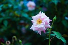 Роза пинка оно красивый в саде Стоковое Фото