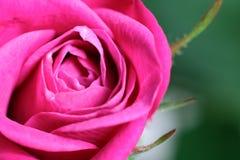Роза пинка отпочковывается крупный план на предпосылке листьев Стоковые Изображения