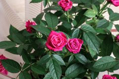 Роза пинка отпочковывается крупный план на предпосылке листьев Стоковые Изображения RF