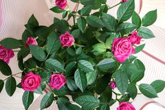 Роза пинка отпочковывается крупный план на предпосылке листьев Стоковое Изображение