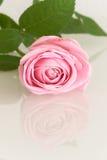Роза пинка отражая в белой поверхности Стоковые Фотографии RF