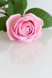 Роза пинка отражая в белой поверхности Стоковое Фото