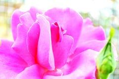 роза пинка одиночная стоковые изображения rf