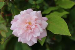 роза пинка одиночная Стоковая Фотография