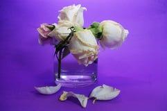 Роза пинка распадаться цветет на фиолетовой предпосылке стоковая фотография