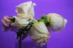 Роза пинка распадаться цветет на фиолетовой предпосылке стоковые фотографии rf