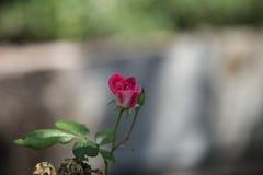 Роза пинка, Роза, цветеня Стоковое Изображение