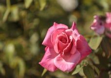 Роза пинка, Роза, цветеня Стоковые Изображения RF