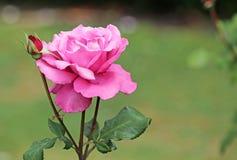 Роза пинка с бутоном Стоковое Фото