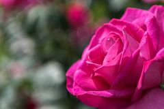 Роза пинка с зеленой предпосылкой стоковые изображения rf