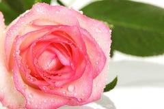 Роза пинка с падениями росы на лепестках изолированных на белизне Передний v Стоковое Фото