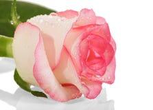 Роза пинка с падениями росы на лепестках изолированных на белизне Сторона VI Стоковые Фотографии RF