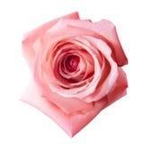 Роза пинка с путем Стоковая Фотография