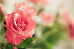 Роза пинка, цветок на предпосылке зеленого сада Стоковое фото RF