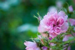 Роза пинка, цветок на предпосылке зеленого сада Стоковые Изображения