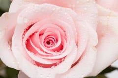 Роза пинка Стоковые Фотографии RF
