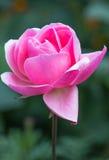 Роза пинка Стоковая Фотография