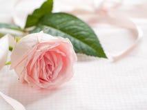 Роза пинка Стоковые Изображения