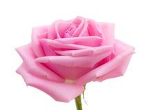 Роза пинка. Стоковые Изображения RF