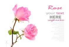 Роза пинка Стоковое Фото