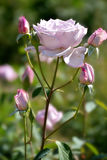 Роза пурпура в саде Стоковая Фотография RF