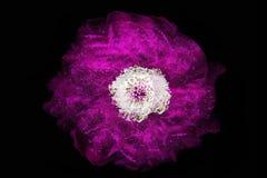 Роза пурпура на темной предпосылке Стоковая Фотография