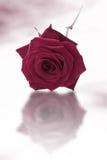 роза пурпура одиночная Стоковые Изображения