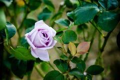 Роза пурпура - одиночная роза пурпура Стоковое Изображение RF