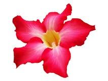 Роза пустыни изолированная на белизне Стоковое Изображение RF