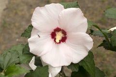Роза ` сердца ` Шерона красного бледного - розовый цветок с муравьем Стоковые Фотографии RF