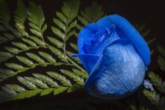 роза сини одиночная Стоковое Изображение RF