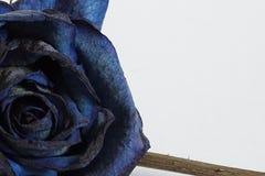 Роза сини подробно Стоковое фото RF