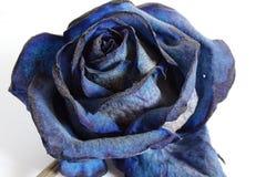 Роза сини подробно Стоковое Фото