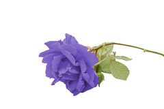 Роза сини стоковые изображения rf