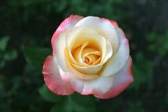 Роза смешанного розового и желтого цвета стоковые фотографии rf
