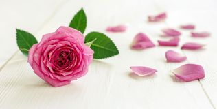 Роза с лепестками - идея пинка знамени сети Стоковые Фото
