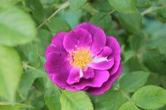 Роза фиолета, на зеленом цвете предпосылки выходит стоковая фотография